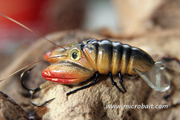 River Crayfish Gold